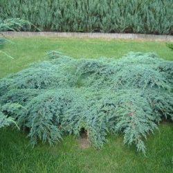 Arbuste rampant